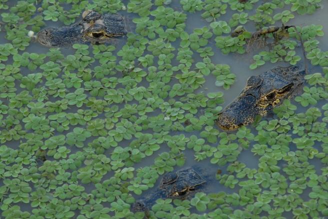 Caimans -- Pantanal, Brazil