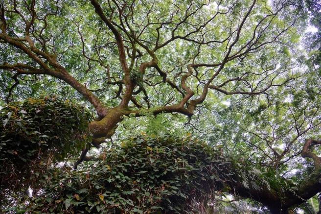 monkeypuzzletree