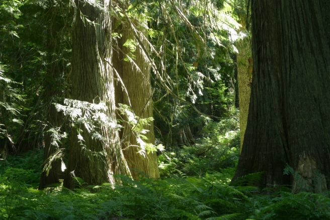 Hobo Old-Growth