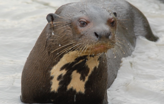 pantanal giant otter