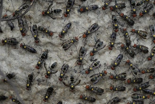pantanal wasps