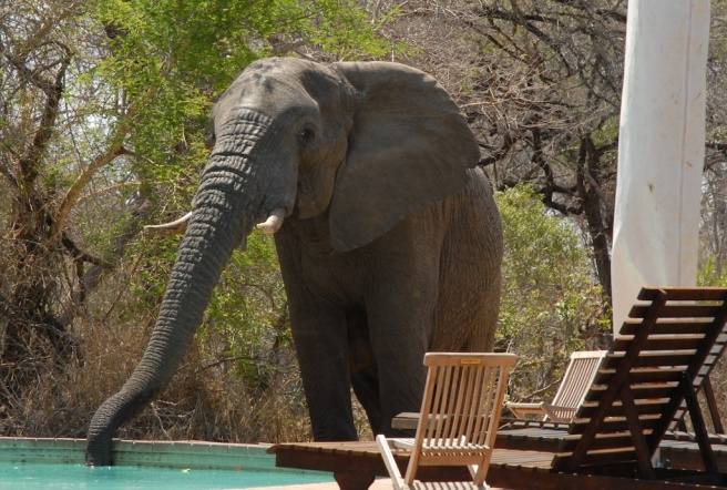Elephant drinking from pool