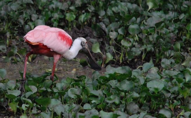 Roseate Spoonbill Pantanal
